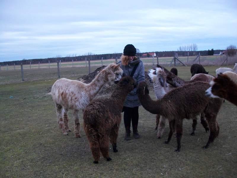 Fünf Alpakas umringen foxitalic auf einer Weide.