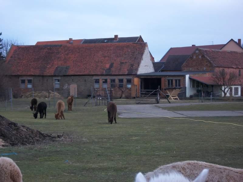 Sieben Alpakas grasen auf einer Weide vor einem Bauernhof.
