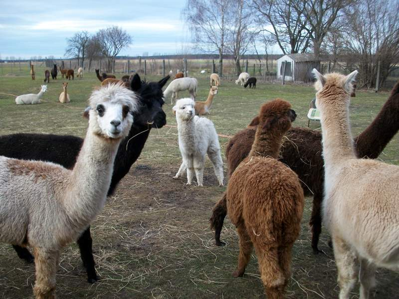 23 Alpakas stehen auf einer Weide.