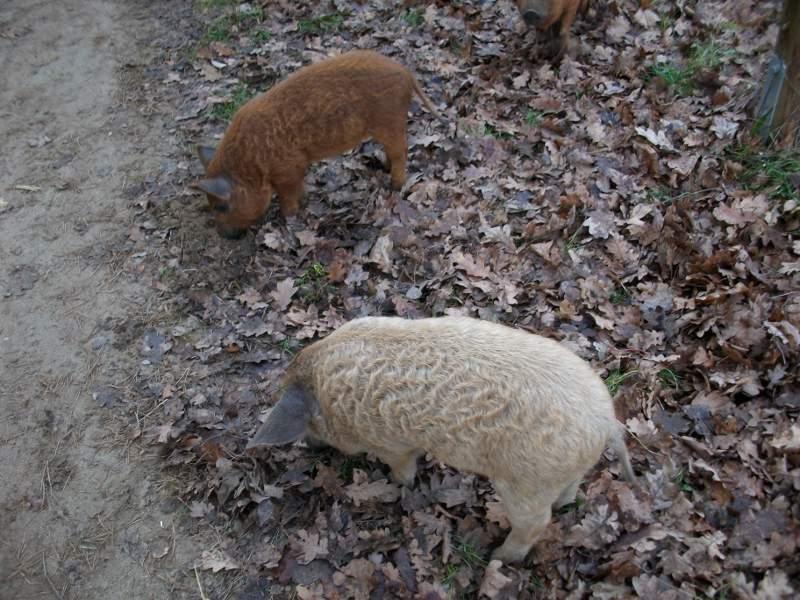 Zwei Wollschweine stehen am Rande eines Gehwegs im Laub. Das eine Wollschwein hat rotbraunes, das andere beiges Fell.