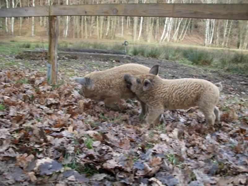 Ein kleines Wollschwein mit beigem Fell beißt ein anderes kleines Wollschwein mit hellbraunem Fell.