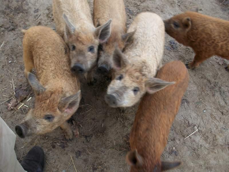 Fünf Wollschweine stehen auf einem unbefestigten Weg und drängen sich ins Bild.