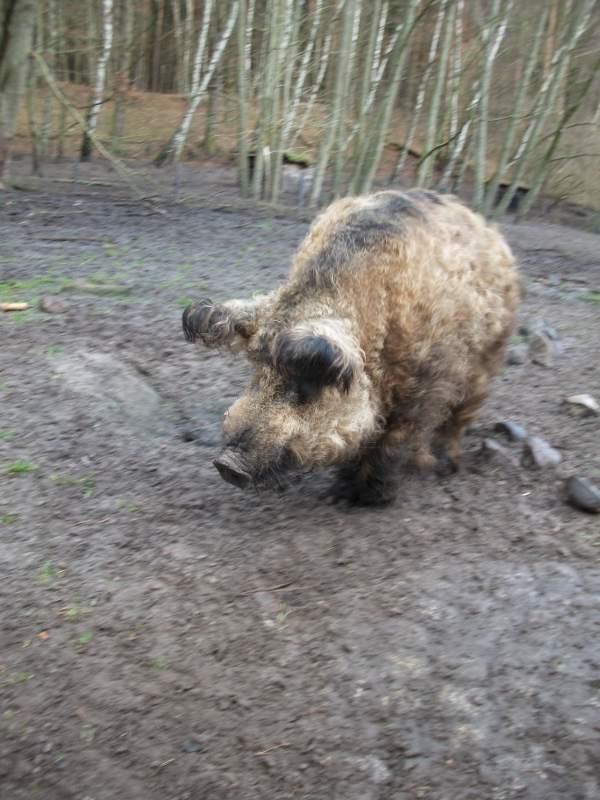 Ein großes Wollschwein mit hellbraunem Fell steht auf durchwühlter Erde. Im Hintergrund befinden sich kahle Bäume.